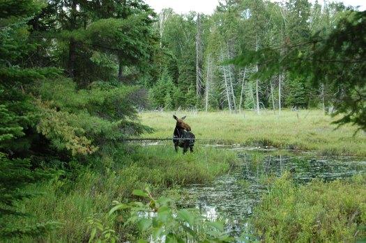 Moose on the Mizzy Lake trail